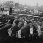 Cattle in the Ogden Stockyard